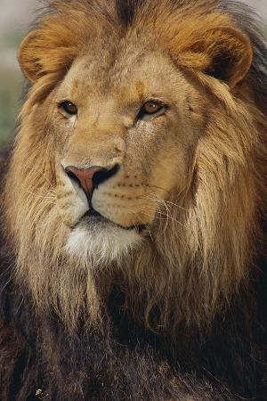 dlillc-lion