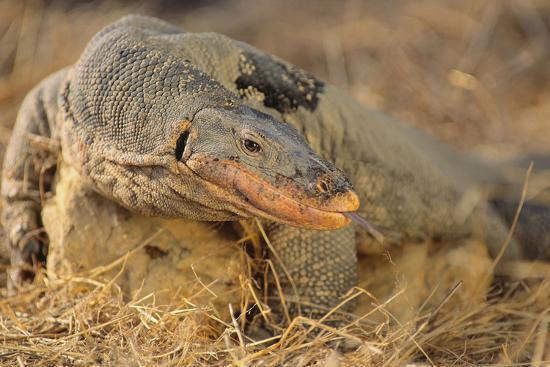 dlillc-monitor-lizard