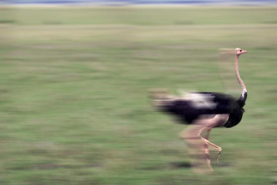 dlillc-ostrich-running