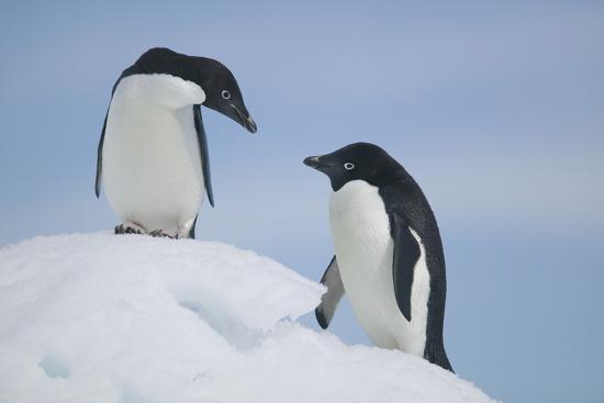 dlillc-pair-of-adelie-penguins-on-an-iceberg