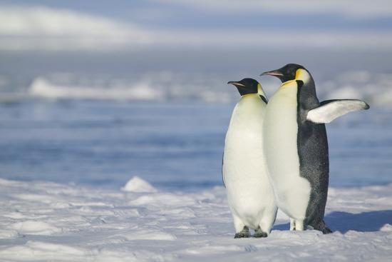 dlillc-pair-of-emperor-penguins