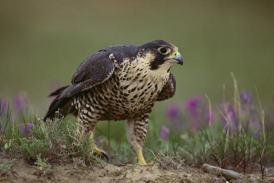 dlillc-peregrine-falcon-in-grass
