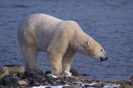 dlillc-polar-bear-standing-on-rocky-beach