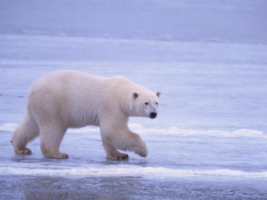 dlillc-polar-bear-walking-on-ice