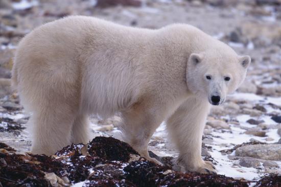 dlillc-polar-bear-walking-on-rocks