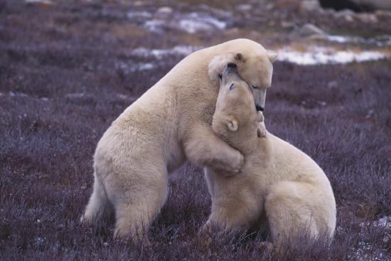 dlillc-polar-bears-hugging