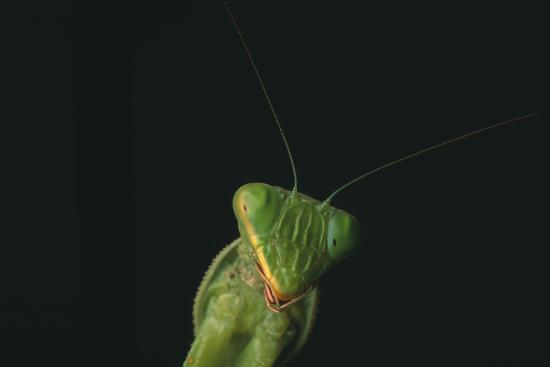 dlillc-praying-mantis