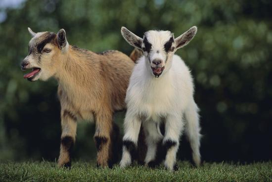 dlillc-pygmy-goats
