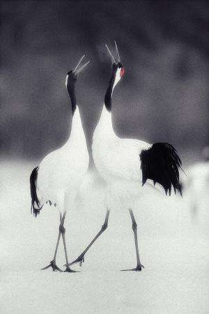 dlillc-red-crowned-cranes-in-courtship-display