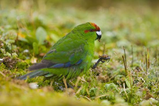dlillc-red-crowned-parakeet-feeding-on-the-ground