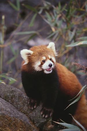 dlillc-red-panda
