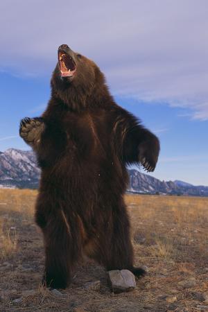 dlillc-roaring-grizzly-bear