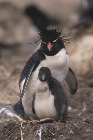 dlillc-rockhopper-penguin-with-chick