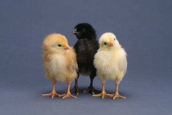 dlillc-row-of-chicks