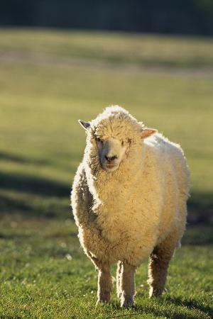 dlillc-sheep-in-grass