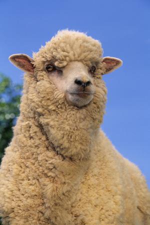 dlillc-sheep