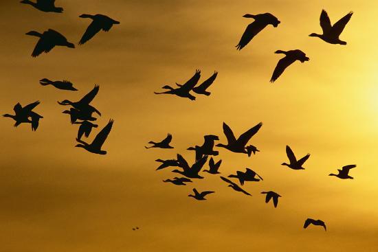 dlillc-snow-geese-in-flight-at-sunset