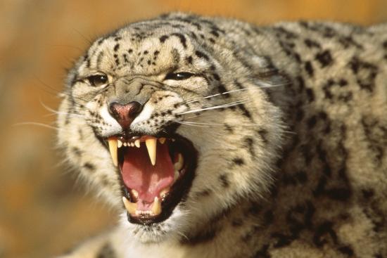 dlillc-snow-leopard-snarling