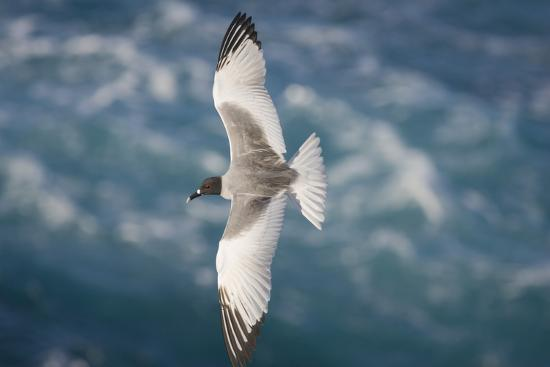 dlillc-swallow-tailed-gull