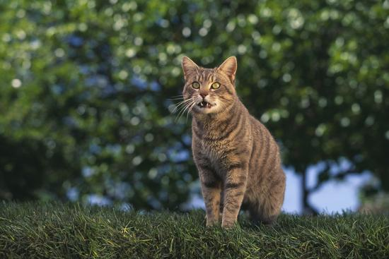 dlillc-tabby-cat-on-grass