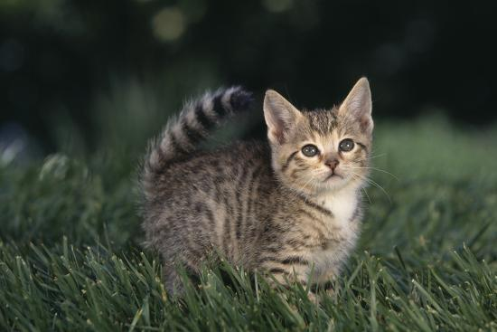 dlillc-tabby-kitten-in-grass