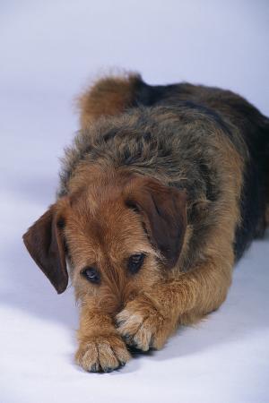 dlillc-terrier-mix-hiding-nose