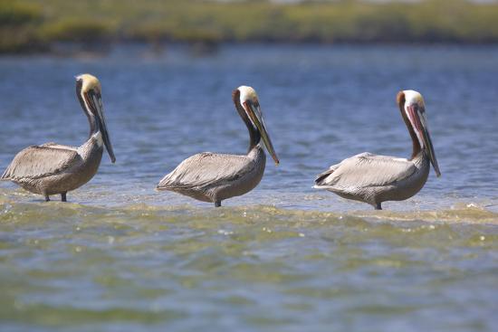 dlillc-three-brown-pelicans