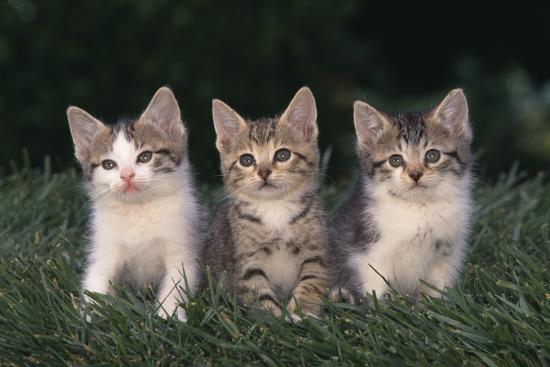 dlillc-three-kittens