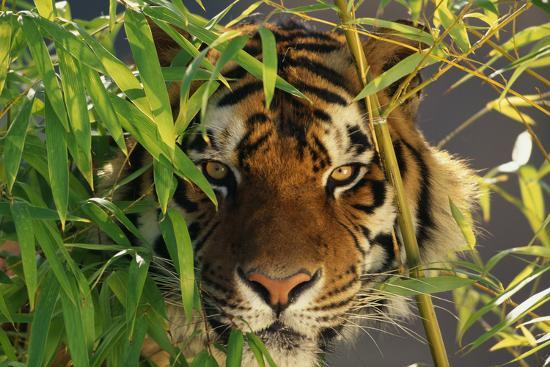 dlillc-tiger-sitting-among-bamboo-leaves