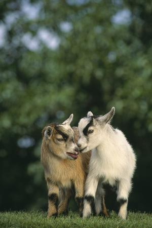 dlillc-two-pygmy-goats