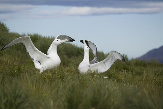 dlillc-wandering-albatross-performing-courtship-display