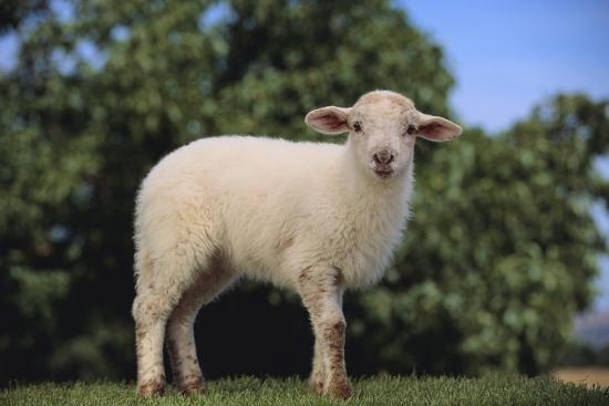 dlillc-whitefaced-lamb-in-the-pasture