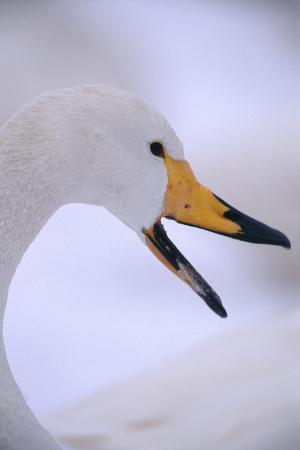 dlillc-whooper-swan