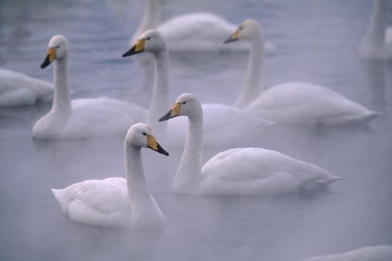 dlillc-whooper-swans-floating-on-water