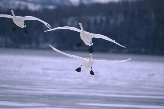 dlillc-whooper-swans-flying-over-lake
