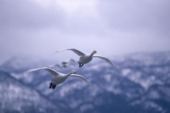 dlillc-whooper-swans-flying