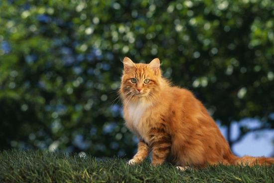 dlillc-yellow-cat-on-grass