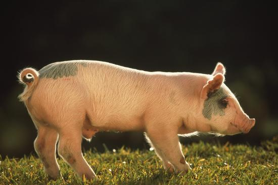 dlillc-yorkshire-and-hampshire-mixed-breed-piglet