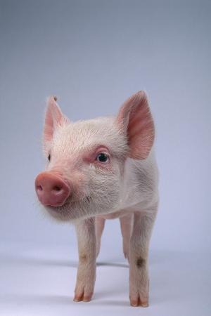 dlillc-yorkshire-piglet
