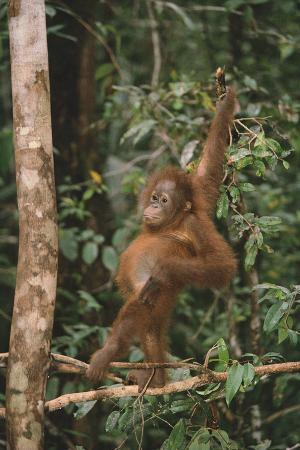 dlillc-young-orangutan-in-the-trees