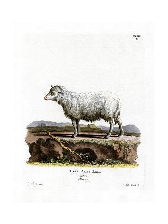 domestic-sheep