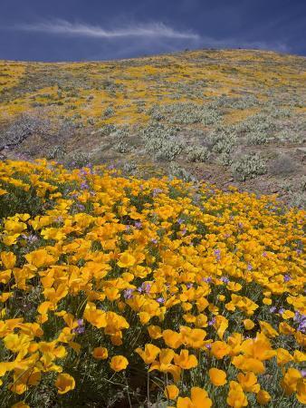 don-grall-mexican-poppy-eschscholzia-mexicana-sonoran-desert-arizona-usa