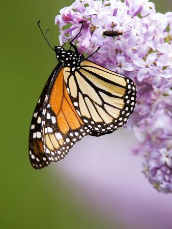 don-johnston-monarch-butterfly-danaus-plexippus-nectaring-on-lilac-flowers-wanup-ontario-canada