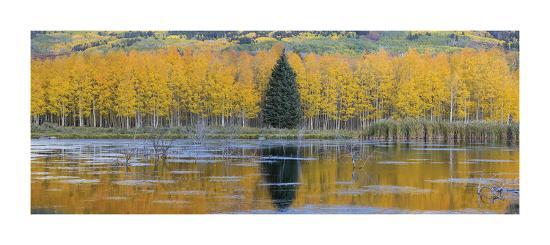 don-paulson-fall-aspens-and-a-single-conifer