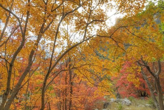 don-paulson-texas-guadalupe-mountains-np-bigtooth-maple-trees-in-fall-color