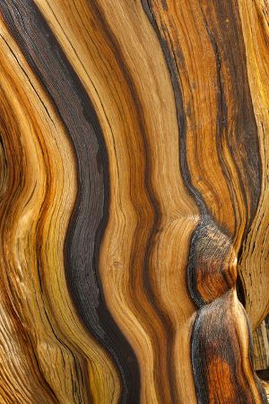 don-paulson-usa-california-inyo-national-forest-patterns-in-a-bristlecone-pine