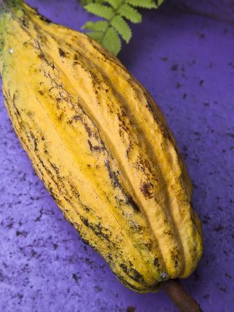 donald-nausbaum-yellow-cacao-pod-against-a-blue-background