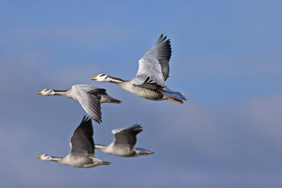 dong-lei-bar-headed-geese-anser-indicus-group-of-four-in-flight-above-the-lashihai-lake