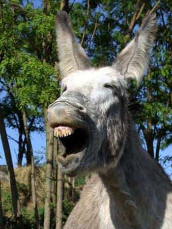 donkey-braying