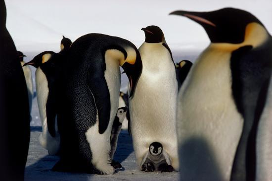 doug-allan-emperor-penguins-sheltering-chicks